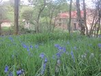 Bluebells at rear of cottages