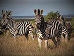 Zebra release, Wildebeest and Impala.