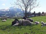 Unsere Schaf am Bauernhof