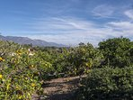 Behold the fruit that Goleta became so famous for - it's in your backyard.
