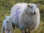 Welsh mountain sheep.