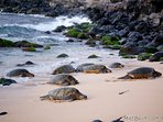 Turtles at Ho'okipa beach, a 4 min. drive