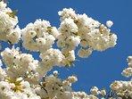 Cherry blossom at Plas Brondanw.