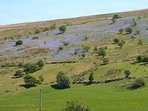 Bluebells on the hillside in the Machno Valley.