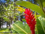 Beautiful red ginger - Aina Nalu is a tropical oasis in the heart of Lahaina.