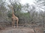 Giraffe in de tuin