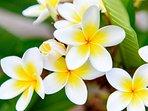 White frangipani in the garden