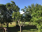 The view of mango trees from the front deck - provides for shade! Help yourself!