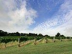 The Pinot Noir Vineyard