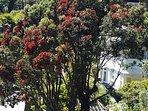 NZ Christmas tree (Pohutakawa) across the road from OB Retreat.