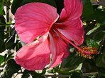 Hibiscus come in so many different colours