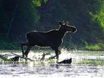 View a moose in the heart of Algonquin Park, free entrance with your pass