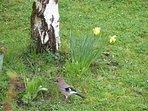 Geai dans le jardin, nous sommes refuge LPO (ligue de protection des oiseaux)