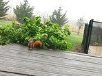 A red squirrel crossing the deck with walnuts for winter store.