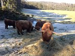 Our Highland cattle on crest winter morning