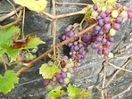 Pick your own grapes in October