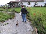 Walking the neighborhood with community pet duck
