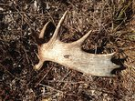 Find a moose antler shed; we have secret places