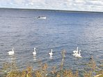 Lot of swans are often swimming on Hara gulf