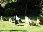 Our happy free range chickens at Toadhall.