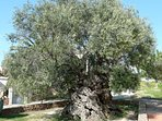 Discover: 'The Olive Tree of Vouves' - one of the worlds oldest olive trees