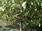 The Jamaica Akee tree in garden near house.