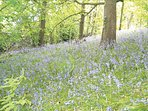 Bluebell woods - part of the Nature Trail around the farm - private to Guests only