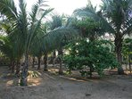 Palm grove and swings