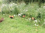 Chickens searching for snacks in the wild flowers.
