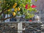 citronnier du jardin