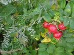 Rose hips, rosa rugosa--grows beautifully at the beach.
