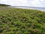 Wild rose bushes, sandy beach, nice view on next peninsula, some boat glide along...