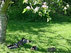 Ducks chilling in the shade of the apple blossom in spring