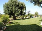 the lawn and plurisecular olive tree