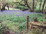 Bluebells by the lake