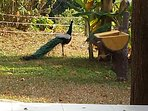 Peacocks are frequent visitors....