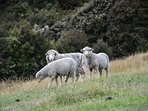 Sheep roam freely in the paddocks near the PurePod