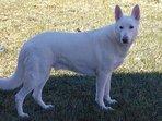 Casper, Steves snow white German Shepherd