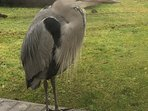 ry the heron on our patio waiting for a titbit to be fed to him.