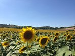 Sunflower fields surrounding the house