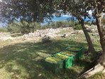 Ready for transport and than processing- producing extra virgin olive oil