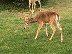 Deer that often stop by.