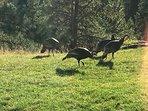 Turkeys that often visit.