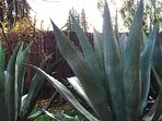 Side Yard Agaves