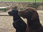Maddie and Max, our friendly Labradors