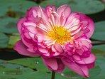 HiddenSide   Lotus from water pond