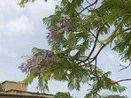 the jacaranda in bloom