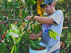 Collaborator Luis harvesting the biological coffee in December. Maybe also the coffee you like.