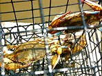 Catch crabs off the dock with our 4 traps. Abundance varies from year to year.