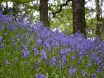 Wild Bluebells in our woodland